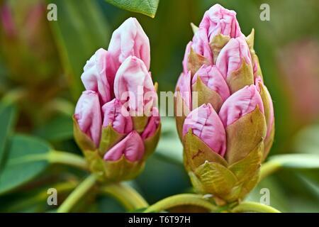 Pink Rhododendron flowers in garden. Spring background. Wild Rhododendron flowers in garden. Spring background with rose Rhododendron blossom. - Stock Photo
