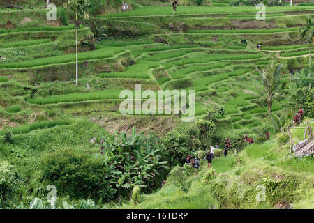 The Tegallalang Rice Terraces in Ubud, Bali, Indonesia - Stock Photo
