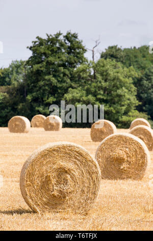 UK harvest time, hay making - freshly baled round hay / straw bales in farmer's field. Close up of round bale (end on) in photo foreground. - Stock Photo