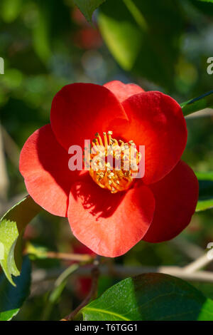 Close-up of a red Royal Velvet (Camellia japonica) Flower in Spring. Sunlight shines on a red blossoming camellia flower. - Stock Photo