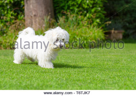 Adorable, curious puppy playing on green grass - Stock Photo