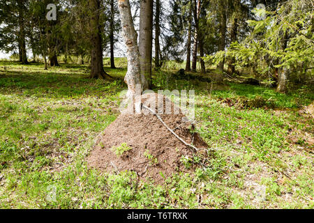 Big anthill in the forest.