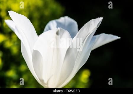 A tulip 'White Triumphator' flower - Stock Photo