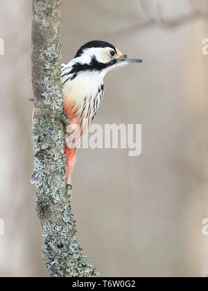 White-backed Woodpecker  in winter - Stock Photo
