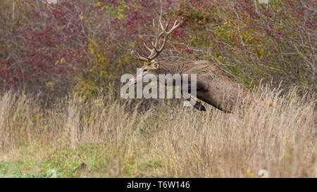 Red deer stag jumping in high grass in autumn - Stock Photo