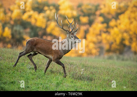 Running red deer, cervus elaphus, stag in the early morning light. - Stock Photo