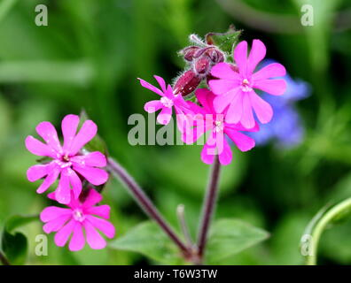 Red Campion, Silene Dioica, or Red Catchfly. Herbaceous. The flower nectar is utilised bybumblebeesandbutterflies, moths feed on thefoliage - Stock Photo