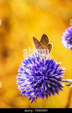 Blue globe thistle, Echinops ritro flower with Aricia cramera, Southern brown argus butterfly on natural blurred background at Rhodope Mountains, Bulg