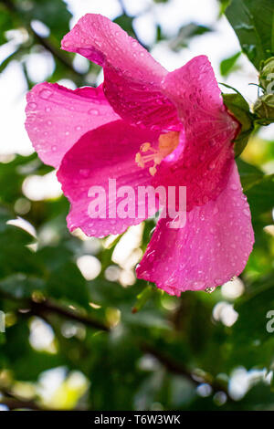 Hibiscus syriacus flower covered with raindrops on natural blurred green leaves background, selective focus - Stock Photo