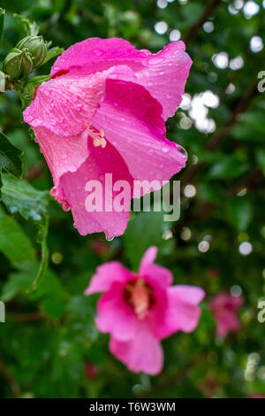 Hibiscus syriacus flower covered with raindrops on natural blurred green leaves and Hibiscus syriacus flower background - Stock Photo