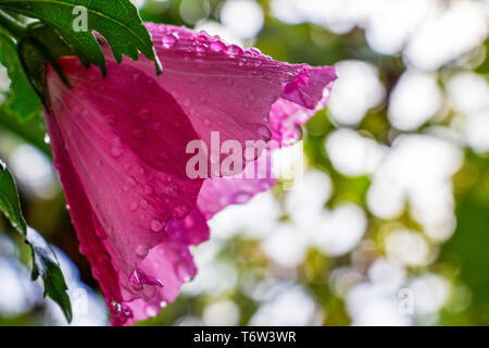 Hibiscus syriacus flower covered with raindrops on natural blurred green leaves background, selective focus, side close view - Stock Photo
