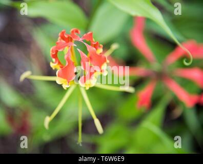 flower growing in outdoor garden in tropical Darwin, Australia - Stock Photo