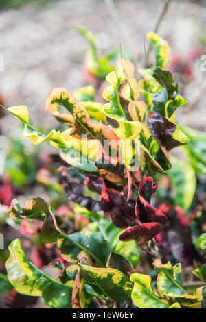 Multi-Coloured foliage with natural curling tendency in a tropical garden in Darwin, Australia - Stock Photo