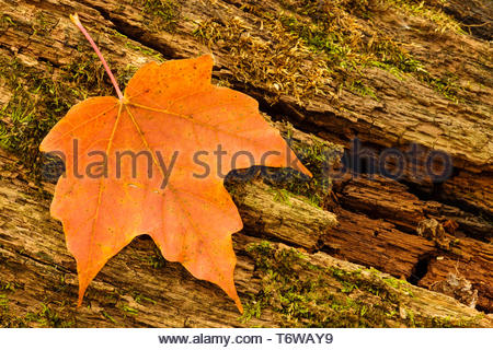 A maple leaf rests on a rotting moss-covered log in early October within the Pike Lake Unit, Kettle Moraine State Forest, Hartford, Wisconsin in early - Stock Photo