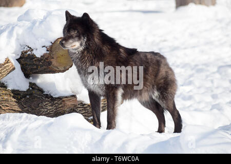Black canadian wolf is standing on a white snow. Canis lupus pambasileus. Animals in wildlife. - Stock Photo