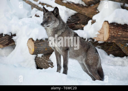 Careful black canadian wolf is standing on a white snow. Canis lupus pambasileus. Animals in wildlife. - Stock Photo