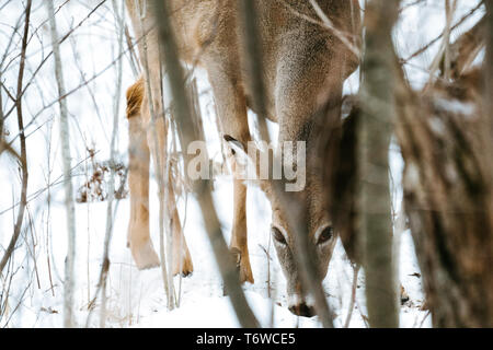 Straight on view of a white-tailed deer looking through the trees - Stock Photo