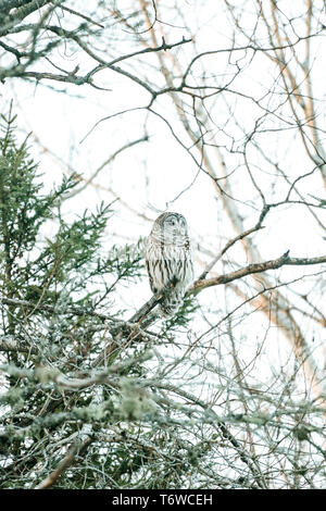 Side view of a Barred Owl (Strix varia) sitting in a birth tree - Stock Photo