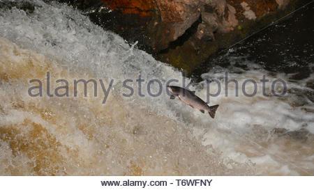 Atlantic salmon ( Salmo salar ) leaping up the River Shin - Stock Photo