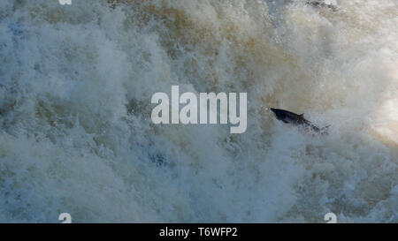 Atlantic salmon ( Salmo salar ) leaping up the River Shin - Stock Photo