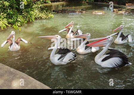 Flock of Australian pelicans (Pelecanus conspicillatus) in the pond waiting for feeding - Stock Photo