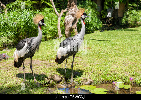 Two Crowned Cranes (Balearica regulorum) near the water-lily pond - Stock Photo
