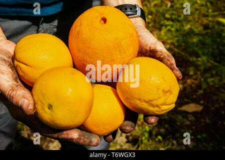 Close up of hands holding freshly picked organic oranges of different sizes; San Jose, South San Francisco bay area, California - Stock Photo