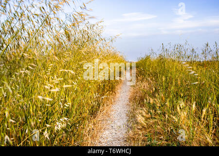 Common wild oat (Avena fatua) growing on the side of a narrow walking path, San Jose, South San Francisco bay area, California - Stock Photo
