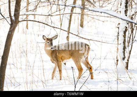 A white-tailed deer in winter - Stock Photo