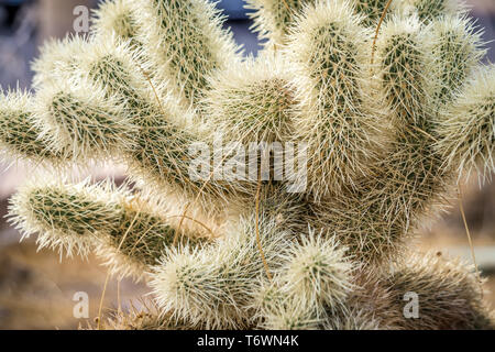 cactus growing in death valley national park - Stock Photo