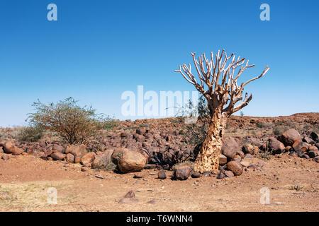 Aloidendron dichotomum, aloe tree, Namibia wilderness - Stock Photo