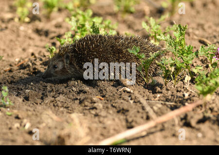 portrait of hedgehog in the field grass - Stock Photo