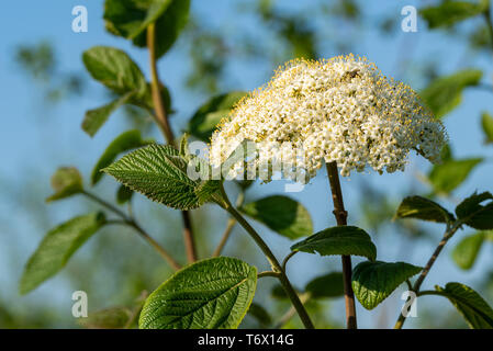 Blooms of Wayfaring-tree (Viburnum lantana)  and green leaves in front of a blue sky - Stock Photo