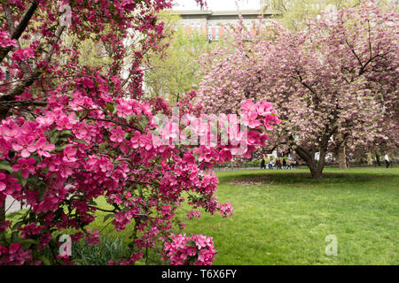 Prairie fire crab apple tree blossoms are beautiful in Madison Square Park, NYC, USA - Stock Photo