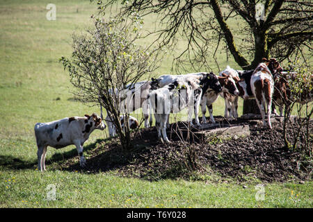 Cows seek shade under tree - Stock Photo