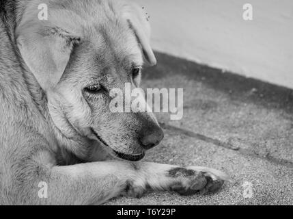 Closeup sad dog lying on concrete floor. Fat dog bored for waiting owner. Expression face of domestic animals. Adorable pet. Tired, depressed, and lon - Stock Photo