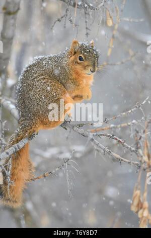 Eastern Fox Squirrel (Sciurus niger), Missoula, Montana - Stock Photo