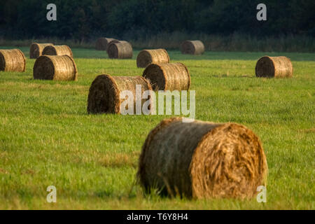 Hay bales on the field after harvest in morning. - Stock Photo