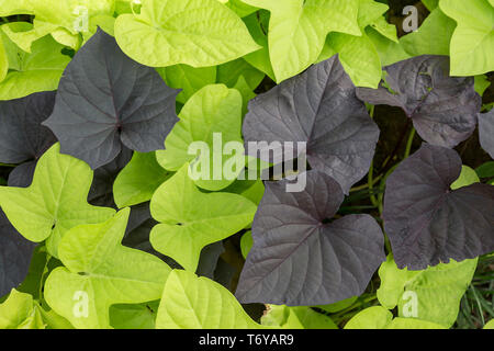 Full frame background of bright green and dark purple leaves - Stock Photo