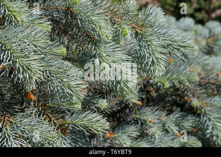 Close up of blue spruce branches - Stock Photo