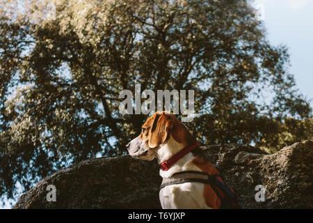 Pretty Beagle dog looks attentive on a large rock - Stock Photo