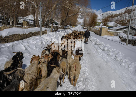 Winter drive to beautiful & lonely snow planet in Spiti Valley, Himachal Pradesh, India - Sheep and goats. Mountain goats, Spiti Valley, Himachal - Stock Photo