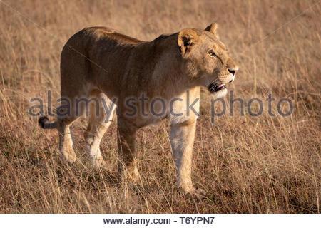 Lion in bright sunshine walks on savannah - Stock Photo