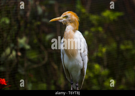 Ibis Bubulcus, Cattle Egret found in KL Bird Park in Kuala Lumpur, Malaysia. - Stock Photo