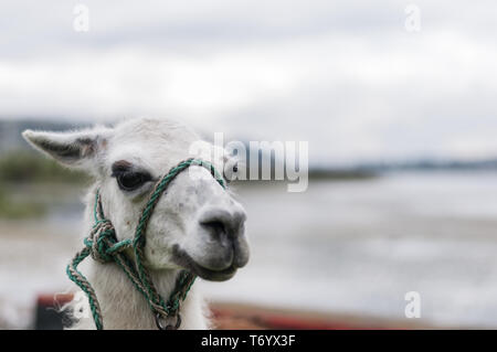 Portrait of a white llama (Lama glama) in the Andes. - Stock Photo