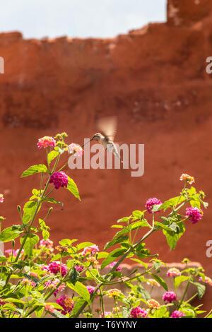 Giant Hummingbird(Patagona gigas) feeding on lantana flowers - Stock Photo