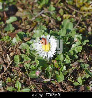 Ladybug sitting on daisy. Resting in spring. - Stock Photo