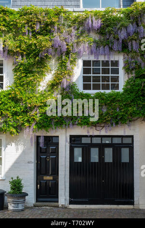 Wisteria on the front of a house in Queens Gate Mews, South Kensington , London, England - Stock Photo
