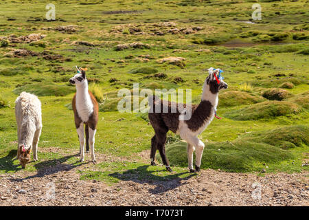 Lamas grazing in a pasture - Stock Photo