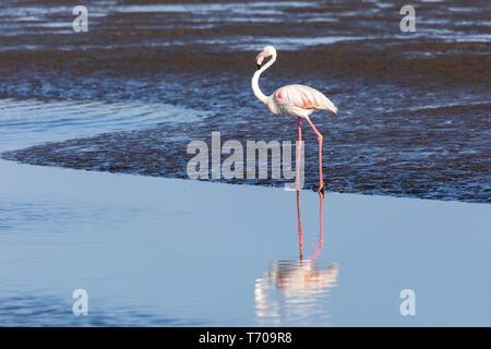 Rosy Flamingo colony in Walvis Bay Namibia - Stock Photo